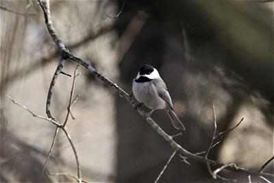 Owls - Carolina Chickadee - 8382 by Travis Truelove