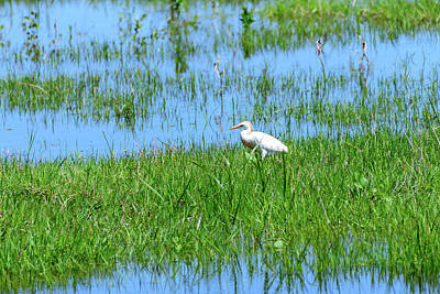Design Pics - Cattle Egret at School Marsh by Debra Martz