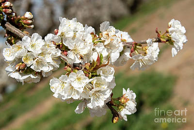 Royalty-Free and Rights-Managed Images - Cheery Blossom Spring by Mike Dawson