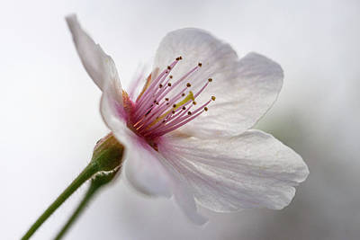 Photograph - Cherry Blossom Macro by Jessica Nelson