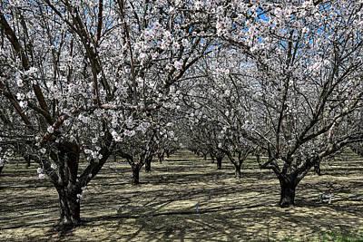 Photograph - Cherry blossom - Orchard  by Bipul Haldar