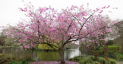 Parks - Cherry Blossom Tree by Martin Newman