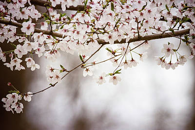 Photograph - Cherry Blossoms Far by Jessica Nelson