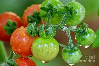 Bath Time Rights Managed Images - Cherry Tomatoes on the Vine Royalty-Free Image by Marie Debs