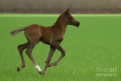 Animals Drawings - Chestnut Arabian Foal i2 by Eyal Bartov