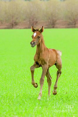 Animals Drawings - Chestnut Arabian Foal i4 by Eyal Bartov