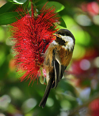 All Black On Trend - Chestnut-backed Chickadee on Bottle Brush Blossom by Brian Tada