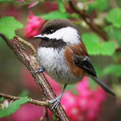 Photograph - Chestnut-Backed Chickadee - Spring by Brad Mitchell