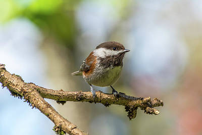 Animals Royalty-Free and Rights-Managed Images - Chickadee on a Spring Day by Marv Vandehey