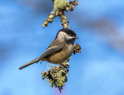 Tina Turner - Chickadee with Blue Background by Marv Vandehey