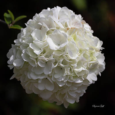 Easter Egg Hunt - Chinese Snowball Viburnum by Suzanne Gaff