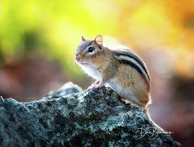 Dan Beauvais Royalty-Free and Rights-Managed Images - Chipmunk 3784 by Dan Beauvais