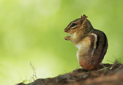Lori A Cash Royalty-Free and Rights-Managed Images - Chipmunk  by Lori A Cash