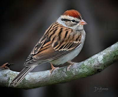 Dan Beauvais Royalty Free Images - Chipping Sparrow 6410 Royalty-Free Image by Dan Beauvais