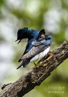 Rabbit Marcus The Great - Chirping Tree Swallow by Cindy Treger