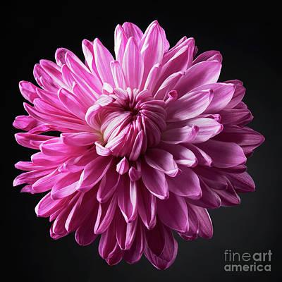 Kitchen Mark Rogan Rights Managed Images - Chrysanthemum Royalty-Free Image by Tony Cordoza