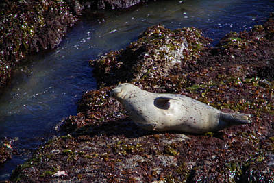 Vintage Movie Stars - Chubby harbor seal by Jeff Swan