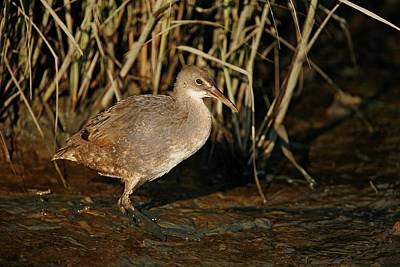 Lori A Cash Royalty-Free and Rights-Managed Images - Clapper Rail in Marshes by Lori A Cash