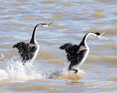 Curated Beach Towels - Clarks Grebes Mating Dance by Dennis Hammer