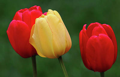 Coy Fish Michael Creese Paintings - Classic Spring Garden Tulips by Debbie Oppermann