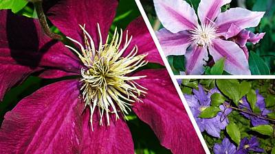 Photograph - Clematis Blossoms by Nancy Ayanna Wyatt