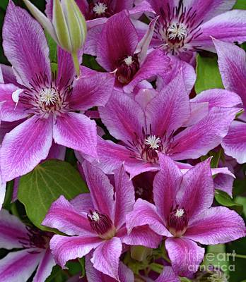 Angels And Cherubs - Clematis In Various Stages Of Opening by Cindy Treger
