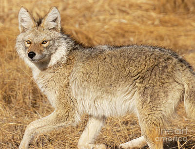 Steven Krull Royalty-Free and Rights-Managed Images - Close Coyote on the Hunt by Steven Krull