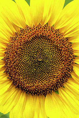 Crazy Cartoon Creatures - Close-up Detail of Sunflower by Bob Decker