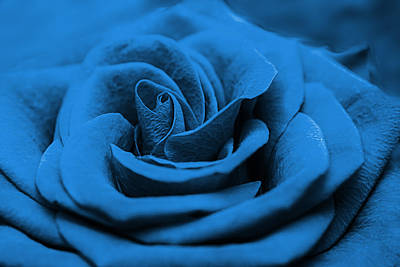 Royalty-Free and Rights-Managed Images - Close up of a blue beautiful red rose. Fresh flower as expression of love. Macro by Julien