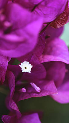 Photo Royalty Free Images - Close up of a Bougainvillea Royalty-Free Image by Martin Alonso