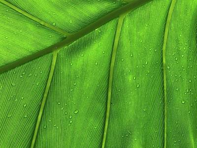 Royalty-Free and Rights-Managed Images - Close up of the palm tree leaf with water drops on it - green leaf - Ulitsa Professora Popova, 2?, Sankt-Peterburg, Russia, 197022 by Julien
