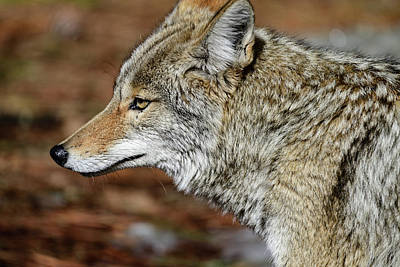 Photograph - Close-up with Coyote by Bipul Haldar