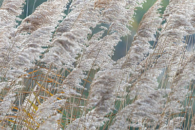 Nirvana - Closeup of panicle reed in winter blue background by Stefan Rotter