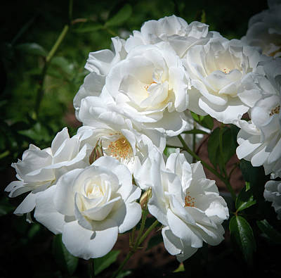Photograph - Cluster Of White Roses by David Hintz
