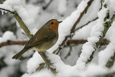 Photograph - Cock Robin by Wendy Cooper