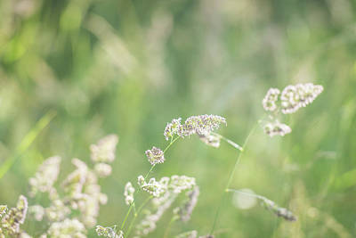 Royalty-Free and Rights-Managed Images - Cocksfoot grass on a sunny eveing with a shallow depth of field by David Ridley