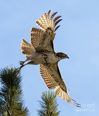 Steven Krull Royalty-Free and Rights-Managed Images - Colorado Red-tailed Hawk by Steven Krull