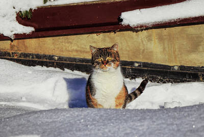 Mountain Landscape Royalty Free Images - Colored felis catus domesticus sits in snow garden and watch on me, tries begging for food. Relationship between human and pet. Wonderful kitten with beautiful fur playing in snow. December is here Royalty-Free Image by Vaclav Sonnek