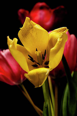 Photograph - Colorful Tulips with Black Background by Art Whitton