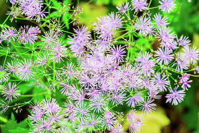 Royalty-Free and Rights-Managed Images - Columbine Meadow Rue flower Thalictrum Aquilegifolium is native to Europe and Asia. by David Ridley