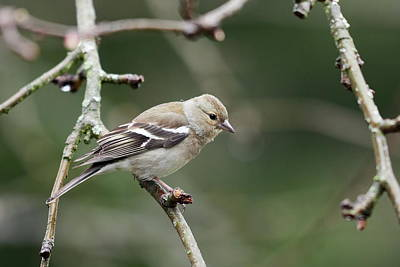Clouds Rights Managed Images - Common chaffinch female Royalty-Free Image by Jouko Lehto
