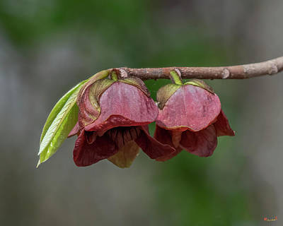 Photograph - Common Pawpaw DFL1125 by Gerry Gantt