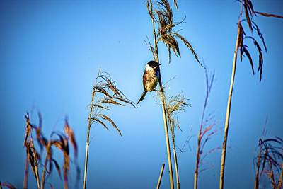 Fruits And Vegetables Still Life - Common reed bunting 1 #l1 by Leif Sohlman