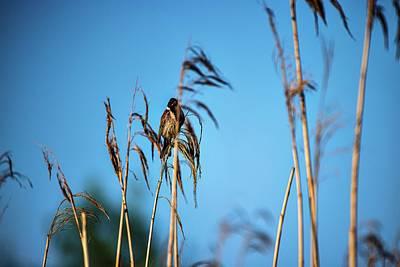 Car Photos Douglas Pittman - Common reed bunting #l1 by Leif Sohlman