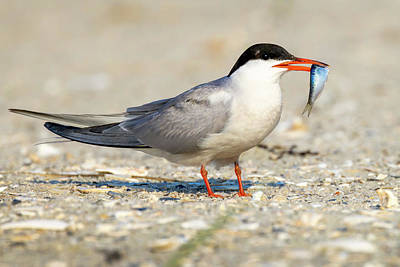 Rose - Common Tern with Small fish by Jerry Fornarotto
