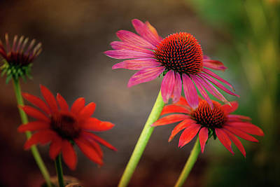 Photograph - Cone Flowers by Bets Wilson