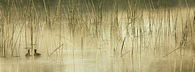Lori A Cash Royalty-Free and Rights-Managed Images - Coots in Foggy Reeds by Lori A Cash