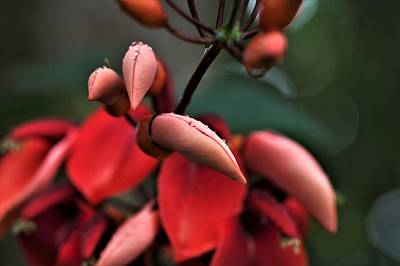 All Black On Trend - Coral Tree Flower Buds by Heidi Fickinger