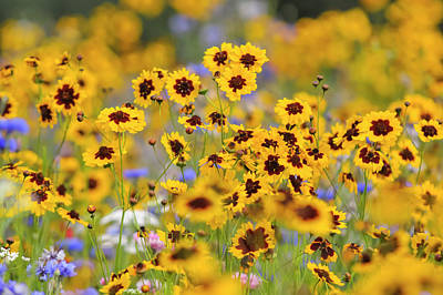 Impressionist Landscapes - Coreopsis Tinctoria Flowers in Pictorial Meadows by Jenny Rainbow