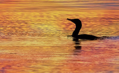 Lori A Cash Royalty-Free and Rights-Managed Images - Cormorant Swimming Silhouette by Lori A Cash